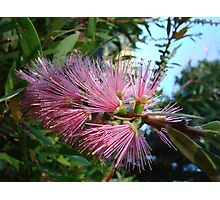 Pretty Pink Bottlebrush Photographic Print