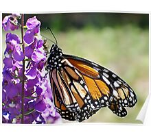Monarch Beauty Poster