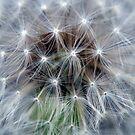Dandelion by Nala