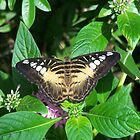 Parthenos Sylvia by wayatsagi