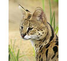 Serval, 2 Photographic Print