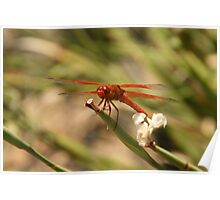 Fire Red Drangonfly Poster