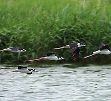 Black-necked Stilts In Flight by tomryan