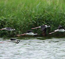 Black-necked Stilts In Flight by tomryan