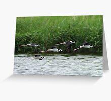 Black-necked Stilts In Flight Greeting Card