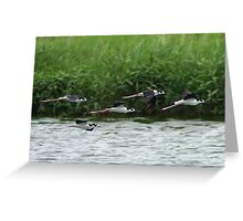 Black-necked Stilts In Flight Greeting Card