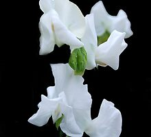 White Sweet Pea by Karen Martin IPA
