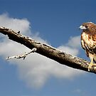 REDTAIL HAWK by TomBaumker
