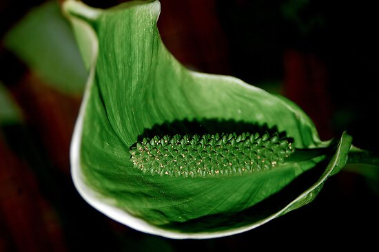 """THE POLLINATED """"PEACE LILY' IN GREEN by Magaret Meintjes"""