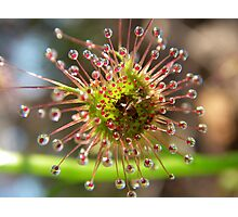 sundew Photographic Print