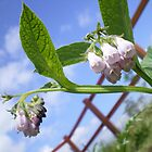 Comfrey Flowers by HeidiArts