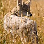 Coyote In Field by LarryGambon