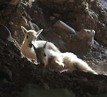 Kid Mountain Goats Resting by Donna Ridgway