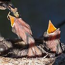 Willy Wagtail Nest by Steve Bass