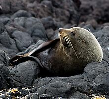 New Zealand Fur Seal by AKunde