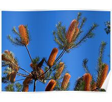 Banksias against blue sky - Canberra Poster