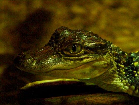 Baby Gator by David Cortez