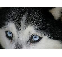 Eyes of the Husky Photographic Print