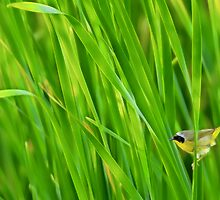 Common yellowthroat on cattails by Mundy Hackett