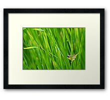 Common yellowthroat on cattails Framed Print
