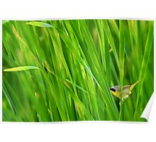 Common yellowthroat on cattails Poster