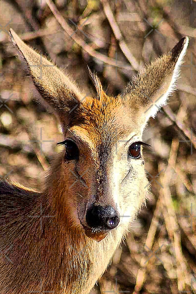 THE COMMON DUIKER - Sylvicapra grimmia by Magriet Meintjes