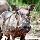 WARTHOG Phacochoerus aethiopicus by Magriet Meintjes