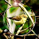 Willow Warbler by Trevor Patterson
