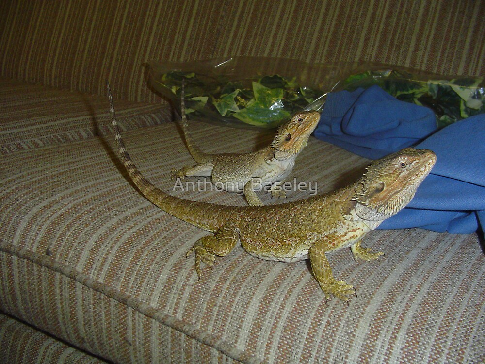Brother and Sister Bearded Dragons by Anthony Baseley