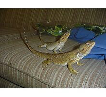 Brother and Sister Bearded Dragons Photographic Print
