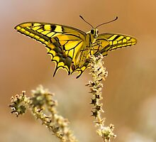 Common yellow swallowtail (Papilio machaon) butterfly  by PhotoStock-Isra