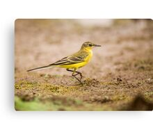Yellow wagtail (Motacilla flava). Canvas Print