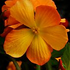 Orange Begonia by Michele Duncan IPA