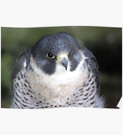 Peregrine (Falco Peregrinus) Poster