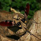 Mantis warning by nymphalid