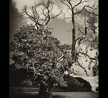 Old Tree by davesphotographics