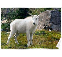 Mountain Goat Kid Poster
