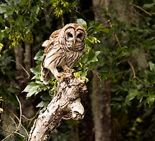 Bard Owl by LarryGambon