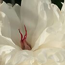 Blooming Peony by elisab