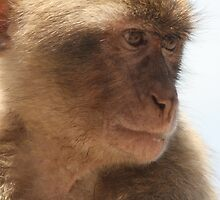 Barbary Apes (Macaca Silvanus) by Alex Young