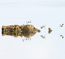 Banded Groundling dragonfly hovering over water with a head of a softshell turtle  by PhotoStock-Isra
