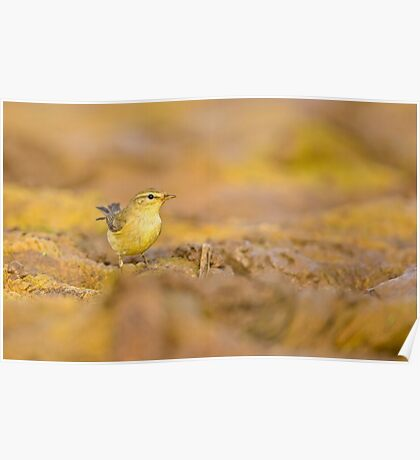 Juvenile male Willow Warbler (Phylloscopus trochilus).  Poster