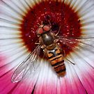 Basking Hoverfly by Gazart