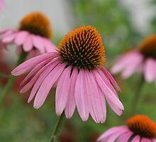 echinacea purpurea by Patricia Montgomery