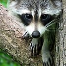 RACCOON PORTRAIT WITH PAWS & CLAWS  by Jean Gregory  Evans
