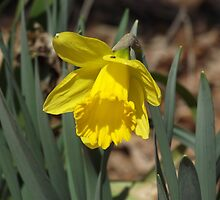 Yellow Daffodil by Rootoli-Visions
