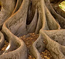 Golden Fig Tree by Mark McClare