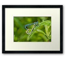 Dragonflies Mating.  Framed Print