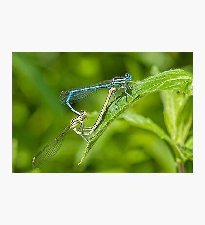 Dragonflies Mating.  Photographic Print