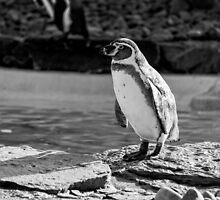 Penguin in Black & White by jboffinphoto